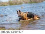 Купить «Мокрая Овчарка играет с мячом в воде», фото № 5929407, снято 21 мая 2014 г. (c) Андрей Воробьев / Фотобанк Лори