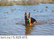 Купить «Мокрая Овчарка играет с мячом в воде», фото № 5929415, снято 21 мая 2014 г. (c) Андрей Воробьев / Фотобанк Лори