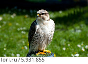 Купить «Сапсан (лат. Falco peregrinus)», фото № 5931855, снято 19 апреля 2014 г. (c) Татьяна Кахилл / Фотобанк Лори