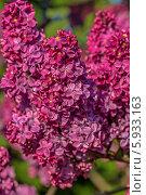 Купить «Ветка цветущей сирени», фото № 5933163, снято 16 мая 2014 г. (c) Ольга Сейфутдинова / Фотобанк Лори