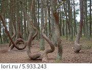 """Купить «""""Танцующий лес"""" на Куршской косе», эксклюзивное фото № 5933243, снято 19 марта 2019 г. (c) Svet / Фотобанк Лори"""