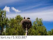 Купить «Аисты в гнезде. Проба крыла, скоро в полёт. Киевская область, село Летки.», фото № 5933887, снято 11 августа 2012 г. (c) Устенко Владимир Александрович / Фотобанк Лори