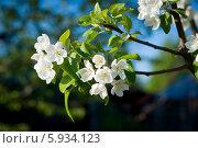 Цветущая белыми цветами ветка яблони на темном с синим фоне. Стоковое фото, фотограф Екатерина Воронкова / Фотобанк Лори