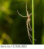 Купить «Лесной паук сидит на травинке освещённый лучами заходящего солнца», эксклюзивное фото № 5936883, снято 20 мая 2014 г. (c) Игорь Низов / Фотобанк Лори