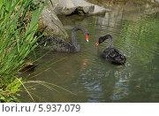 Купить «Пара чёрных лебедей плавают в пруду», эксклюзивное фото № 5937079, снято 14 апреля 2014 г. (c) Dmitry29 / Фотобанк Лори