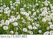 Купить «Поле одуванчиков», фото № 5937483, снято 25 мая 2014 г. (c) Наталья Волкова / Фотобанк Лори