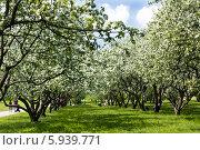 Купить «Москва, цветущие яблоневые сады в парке Коломенское весной», фото № 5939771, снято 22 мая 2011 г. (c) ИВА Афонская / Фотобанк Лори