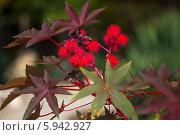 Клещевина обыкнове́нная (Ricinus commúnis L.) Стоковое фото, фотограф Анна Кудрявцева / Фотобанк Лори