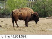 Купить «Бизон в пражском зоопарке», фото № 5951599, снято 12 апреля 2014 г. (c) Хименков Николай / Фотобанк Лори
