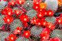 Цветущие кактусы в горшках, фото № 5957363, снято 11 мая 2014 г. (c) Наталья Волкова / Фотобанк Лори
