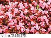 Купить «Бегония вечноцветущая (Begonia semperflorens)», эксклюзивное фото № 5958975, снято 19 августа 2011 г. (c) Алёшина Оксана / Фотобанк Лори