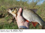 Пойманный подъязок в руке. Стоковое фото, фотограф Dmitry29 / Фотобанк Лори