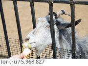 Купить «Козу кормят в зоопарке», фото № 5968827, снято 1 июня 2014 г. (c) Андрей Воробьев / Фотобанк Лори