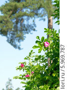 Цветущий шиповник на фоне голубого неба и сосны в летнее солнечное утро. Стоковое фото, фотограф Вячеслав Сапрыкин / Фотобанк Лори