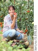 Довольная женщина собирает помидоры. Стоковое фото, фотограф Phovoir Images / Фотобанк Лори