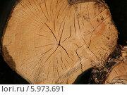 Срез большого дерева. Стоковое фото, фотограф Галина Карпова / Фотобанк Лори