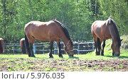 Купить «Две лошади пасутся на лугу», видеоролик № 5976035, снято 4 июня 2014 г. (c) Кекяляйнен Андрей / Фотобанк Лори