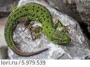 Зелёная ящерица(Lacerta viridis) — вид ящериц из рода Зелёных ящериц. Ящерица с новым хвостом. Стоковое фото, фотограф Евгений Мухортов / Фотобанк Лори