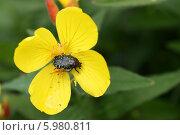 Купить «Крупный жук на желтом цветке (Вонючая бронзовка, Oxythyrea funesta)», эксклюзивное фото № 5980811, снято 25 июня 2011 г. (c) Щеголева Ольга / Фотобанк Лори