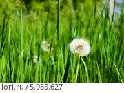 Одуванчик. Стоковое фото, фотограф Павел Годин / Фотобанк Лори