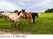 Купить «Лошади разных мастей пасутся в поле», фото № 5985867, снято 8 июня 2014 г. (c) Наталья Волкова / Фотобанк Лори