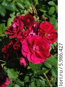 Розы. Стоковое фото, фотограф Юлия Желтенко / Фотобанк Лори