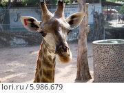 Портрет жирафа. Стоковое фото, фотограф Александр Первунин / Фотобанк Лори