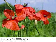 Красные маки крупным планом на зеленом лугу. Стоковое фото, фотограф Наталия Тихонова / Фотобанк Лори
