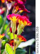 Купить «Первоцвет, или Примула (Primula) — род растений из семейства Первоцветные (Primulaceae) порядка Верескоцветные (Ericales). Соцветие крупно», эксклюзивное фото № 5996359, снято 17 марта 2012 г. (c) Евгений Мухортов / Фотобанк Лори