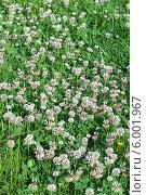 Купить «Клевер луговой ( лат.Trifolium)», эксклюзивное фото № 6001967, снято 1 июня 2020 г. (c) Svet / Фотобанк Лори