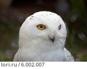 Голова белой полярной совы (Nyctea scandiaca) Стоковое фото, фотограф Яков Филимонов / Фотобанк Лори