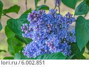 Купить «Цветущая голубая махровая сирень», фото № 6002851, снято 16 мая 2014 г. (c) Ольга Сейфутдинова / Фотобанк Лори