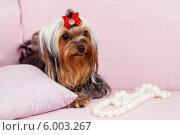 Модная собачка с грустными глазами. Стоковое фото, фотограф Olga Taranik / Фотобанк Лори