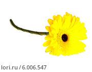 Купить «Желтая гербера на белом фоне», фото № 6006547, снято 9 июня 2013 г. (c) Литвяк Игорь / Фотобанк Лори