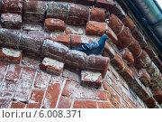 Голубь на стене здания из красного кирпича. Стоковое фото, фотограф Наталья Степченкова / Фотобанк Лори