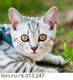 Купить «Светлый породистый кот крупным планом», эксклюзивное фото № 6013247, снято 24 мая 2014 г. (c) Игорь Низов / Фотобанк Лори