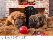 Купить «Шарпеи с яблоком», фото № 6014531, снято 24 октября 2013 г. (c) Михаил Панфилов / Фотобанк Лори