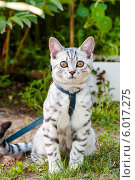 Купить «Светлая британская кошка на прогулке», эксклюзивное фото № 6017275, снято 24 мая 2014 г. (c) Игорь Низов / Фотобанк Лори