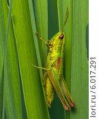 Купить «Крупный зелёный с короткими усами кузнечик сидит среди травы», эксклюзивное фото № 6017291, снято 8 июня 2014 г. (c) Игорь Низов / Фотобанк Лори