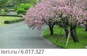 Купить «Цветущая розовая сакура в центральном парке в городе Токио, Япония», видеоролик № 6017327, снято 10 июня 2014 г. (c) Кекяляйнен Андрей / Фотобанк Лори