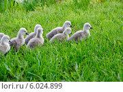 Купить «Маленькие лебедята в траве», фото № 6024899, снято 21 мая 2014 г. (c) Татьяна Кахилл / Фотобанк Лори