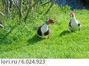 Купить «Индоутка, или Мускусная утка (Cairina moschata)», фото № 6024923, снято 21 мая 2014 г. (c) Татьяна Кахилл / Фотобанк Лори