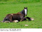 Купить «Лошадь лежит на траве», фото № 6025011, снято 21 мая 2014 г. (c) Татьяна Кахилл / Фотобанк Лори