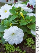 Купить «Белые петунии», фото № 6031143, снято 5 июня 2014 г. (c) Александр Романов / Фотобанк Лори