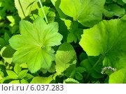 Зеленые листья, фон. Стоковое фото, фотограф Анастасия Филиппова / Фотобанк Лори