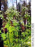 Купить «Купырь лесной (Anthriscus sylvestris) — двулетнее травянистое растение, вид рода Купырь (Anthriscus) семейства Зонтичные (Apiaceae). Растение в сосновом бору», эксклюзивное фото № 6037435, снято 8 июня 2014 г. (c) Евгений Мухортов / Фотобанк Лори