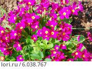 Купить «Цветущая примула (Primula)», эксклюзивное фото № 6038767, снято 2 мая 2014 г. (c) Алёшина Оксана / Фотобанк Лори