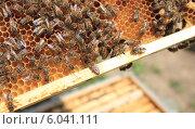 Рабочие пчелы на рамке. Стоковое фото, фотограф Денис Кошель / Фотобанк Лори
