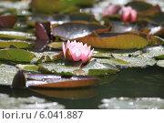 Водяная лилия. Стоковое фото, фотограф Юлия Соловьёва / Фотобанк Лори