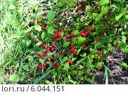 Купить «Ягоды китайской войлочной вишни,висящие на ветке», фото № 6044151, снято 20 июня 2014 г. (c) Игорь Кутателадзе / Фотобанк Лори
